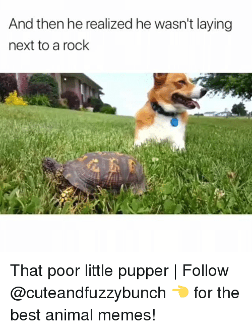 Memes, Animal, and Best: And then he realized he wasn't laying  next to a rock That poor little pupper | Follow @cuteandfuzzybunch 👈 for the best animal memes!