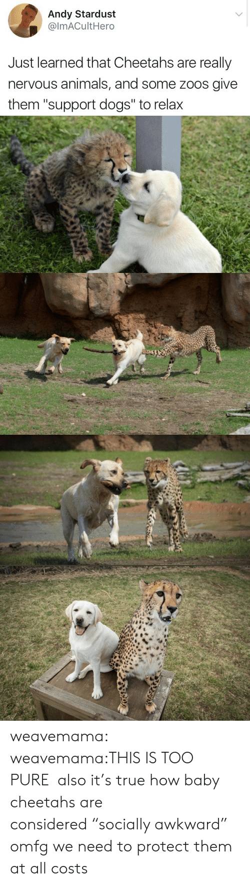 "Animals, Dogs, and True: Andy Stardust  @lmACultHero  Just learned that Cheetahs are really  nervous animals, and some zoos give  them ""support dogs"" to relax weavemama:  weavemama:THIS IS TOO PURE  also it's true how baby cheetahs are considered ""socially awkward"" omfg we need to protect them at all costs"