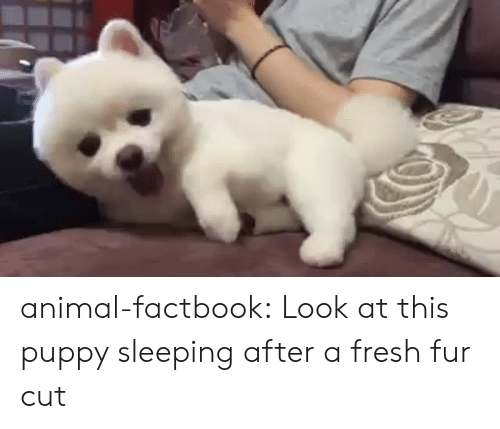 Fresh, Target, and Tumblr: animal-factbook:  Look at this puppy sleeping after a fresh fur cut