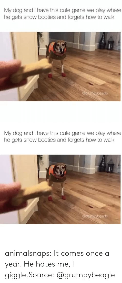 year: animalsnaps:  It comes once a year. He hates me, I giggle.Source: @grumpybeagle