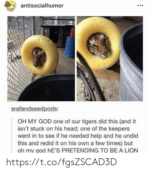 God, Head, and Memes: antisocialhumor  srafandseedpods:  OH MY GOD one of our tigers did this (and it  isn't stuck on his head; one of the keepers  went in to see if he needed help and he undid  this and redid it on his own a few times) but  oh my god hE'S PRETENDING TO BE A LION https://t.co/fgsZSCAD3D