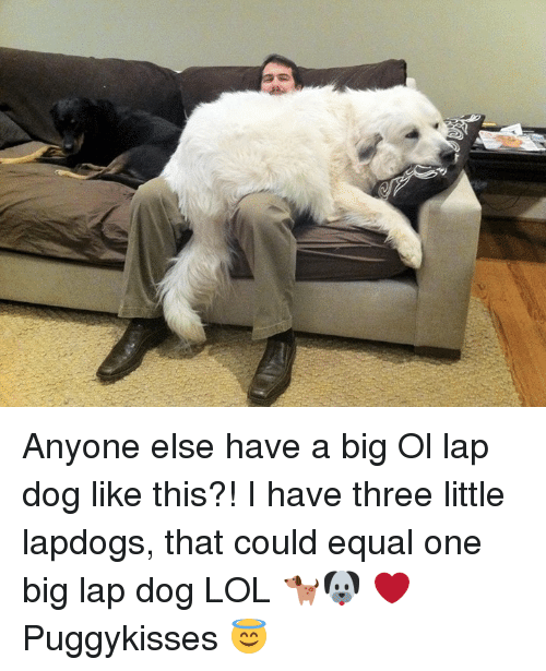 Equalism: Anyone else have a big Ol lap dog like this?! I have three little lapdogs,  that could equal one big lap dog LOL 🐕🐶 ❤️Puggykisses 😇