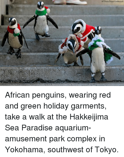 Complex, Memes, and Paradise: AP Photo/Shizuo Kambayashi African penguins, wearing red and green holiday garments, take a walk at the Hakkeijima Sea Paradise aquarium-amusement park complex in Yokohama, southwest of Tokyo.