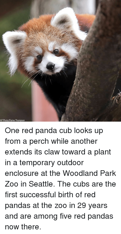 Memes, Red Pandas, and Panda: AP Photo/tlaine Thompson One red panda cub looks up from a perch while another extends its claw toward a plant in a temporary outdoor enclosure at the Woodland Park Zoo in Seattle. The cubs are the first successful birth of red pandas at the zoo in 29 years and are among five red pandas now there.