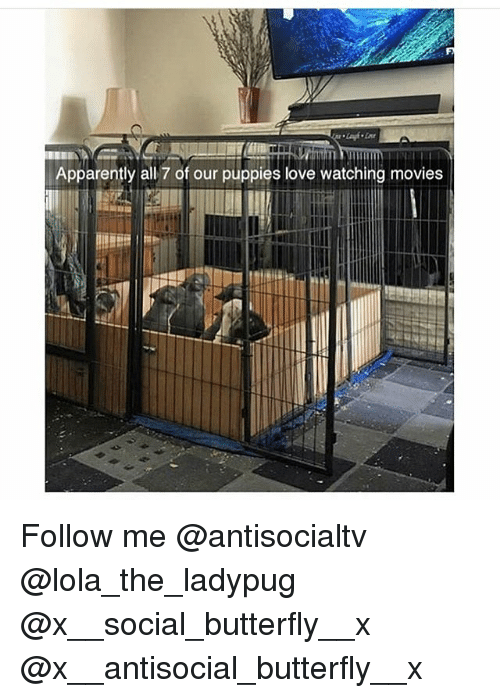 Apparently, Love, and Memes: Apparently all 7 of our puppies love watching movies Follow me @antisocialtv @lola_the_ladypug @x__social_butterfly__x @x__antisocial_butterfly__x