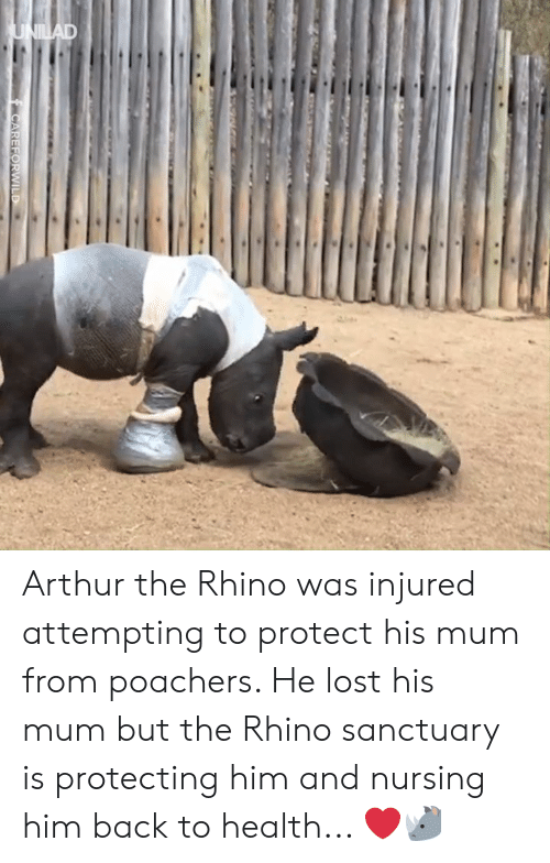 Arthur, Dank, and Lost: Arthur the Rhino was injured attempting to protect his mum from poachers. He lost his mum but the Rhino sanctuary is protecting him and nursing him back to health... ❤️️🦏