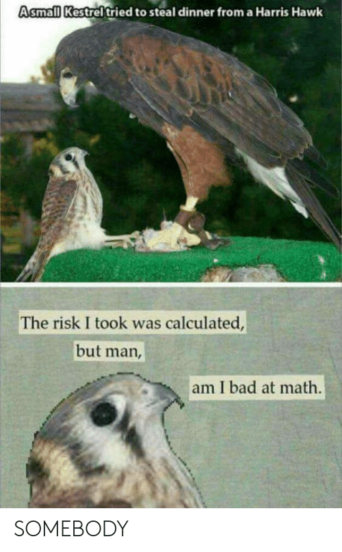 Risk I Took Was Calculated But Man Am I Bad At Math: Asmall Kestrel tried to steal dinner from a Harris Hawk  The risk I took was calculated  but man  am I bad at math SOMEBODY