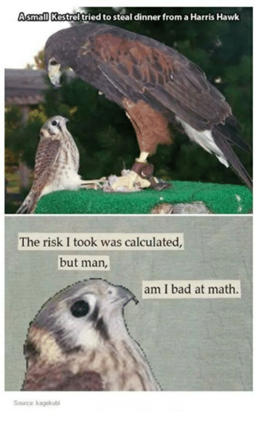 Risk I Took Was Calculated But Man Am I Bad At Math: Asmall Kestrel tried to steal dinner from aHarris Hawk  The risk I took was calculated,  but man,  am I bad at math.  Source kagekubi
