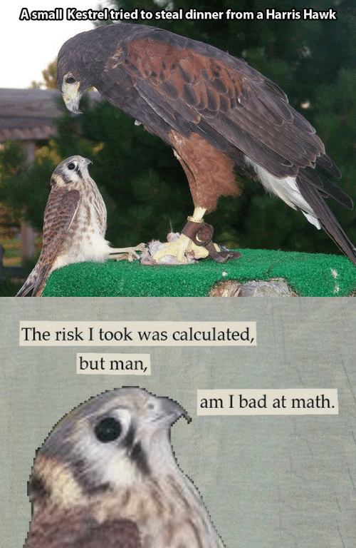 Risk I Took Was Calculated But Man Am I Bad At Math: AsmalllKestrel tried to steal dinner from a Harris Hawk   The risk I took was calculated,  but man,  am I bad at math