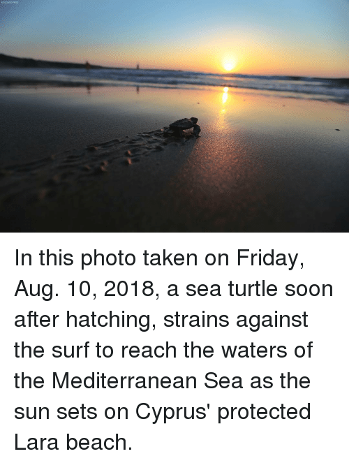 Friday, Memes, and Soon...: ASSOGIATED PRESS In this photo taken on Friday, Aug. 10, 2018, a sea turtle soon after hatching, strains against the surf to reach the waters of the Mediterranean Sea as the sun sets on Cyprus' protected Lara beach.