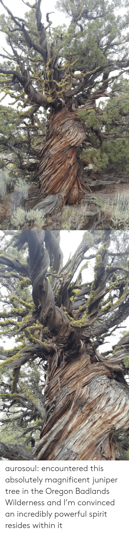 Magnificent: aurosoul: encountered this absolutely magnificent juniper tree in the Oregon Badlands Wilderness and I'm convinced an incredibly powerful spirit resides within it