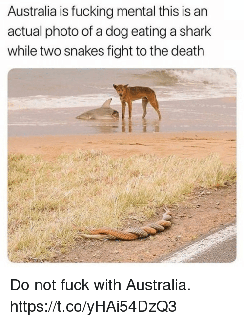 Fucking, Funny, and Shark: Australia is fucking mental this is an  actual photo of a dog eating a shark  while two snakes fight to the death Do not fuck with Australia. https://t.co/yHAi54DzQ3