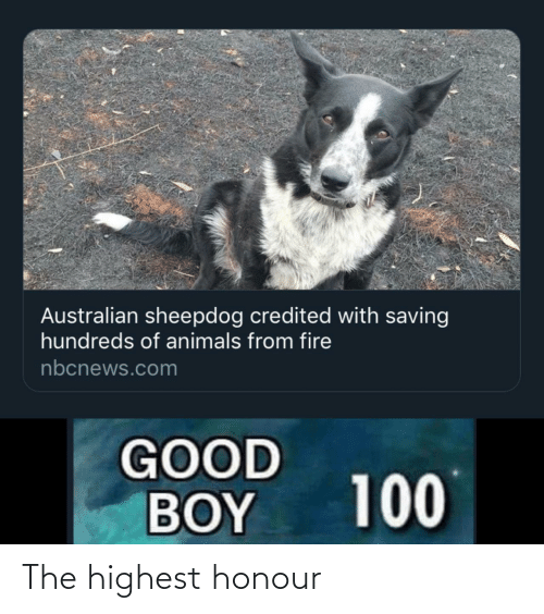 Australian: Australian sheepdog credited with saving  hundreds of animals from fire  nbcnews.com  GOOD  BOY  100 The highest honour