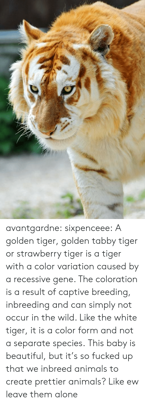 Being Alone, Animals, and Beautiful: avantgardne: sixpenceee:  A golden tiger, golden tabby tiger or strawberry tiger is a tiger with a color variation caused by a recessive gene. The coloration is a result of captive breeding, inbreeding and can simply not occur in the wild. Like the white tiger, it is a color form and not a separate species.  This baby is beautiful, but it's so fucked up that we inbreed animals to create prettier animals? Like ew leave them alone