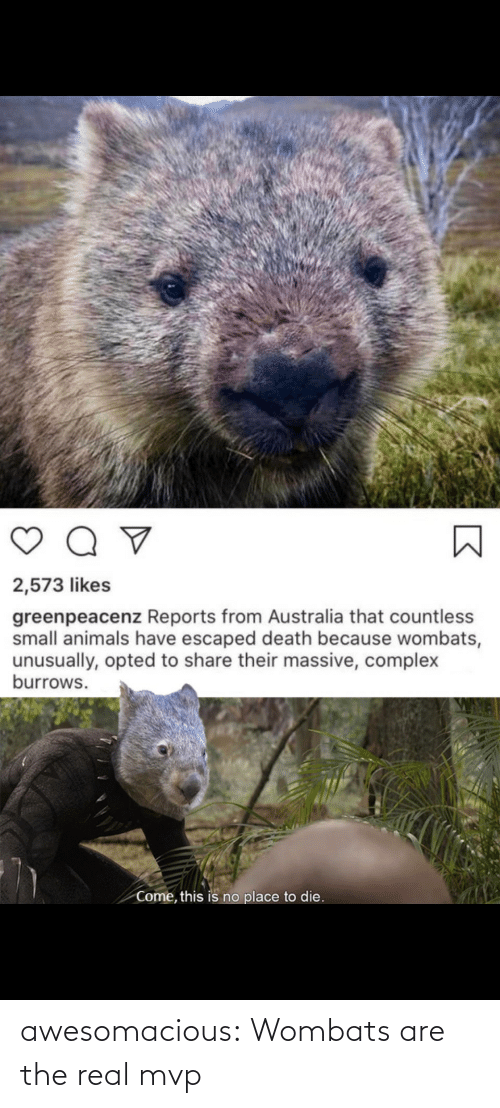 mvp: awesomacious:  Wombats are the real mvp