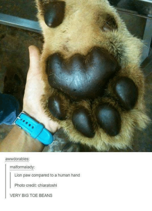 Lion, Lions, and Humans of Tumblr: awwdorables:  malformalady:  Lion paw compared to a human hand  Photo credit: chiaratoshi  VERY BIG TOE BEANS