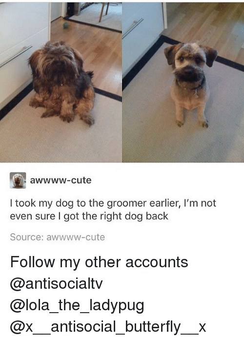 Cute, Memes, and Butterfly: awwww-cute  I took my dog to the groomer earlier, I'm not  even sure I got the right dog back  Source: awwww-cute Follow my other accounts @antisocialtv @lola_the_ladypug @x__antisocial_butterfly__x