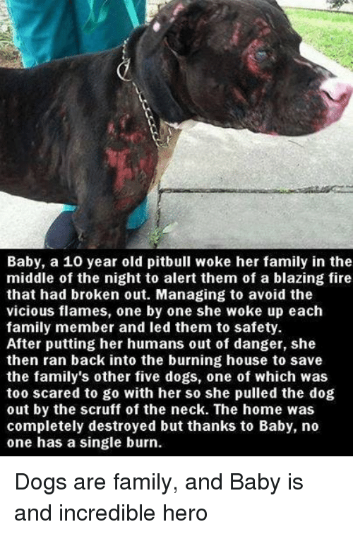 Burning Dog: Baby, a 10 year old pitbull woke her family in the  middle of the night to alert them of a blazing fire  that had broken out. Managing to avoid the  vicious flames, one by one she woke up each  family member and led them to safety  After putting her humans out of danger, she  then ran back into the burning house to save  the family's other five dogs, one of which was  too scared to go with her so she pulled the dog  out by the scruff of the neck. The home was  completely destroyed but thanks to Baby, no  one has a single burn. Dogs are family, and Baby is and incredible hero