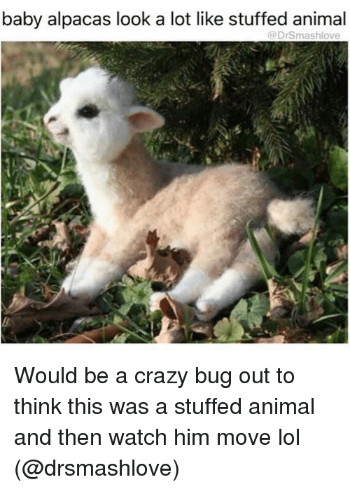 Crazy, Funny, and Lol: baby alpacas look a lot like stuffed animal  @Drsmashlove Would be a crazy bug out to think this was a stuffed animal and then watch him move lol (@drsmashlove)