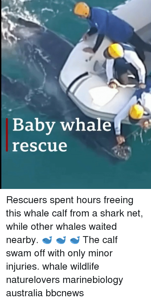Memes, Shark, and Australia: Baby whale  rescue Rescuers spent hours freeing this whale calf from a shark net, while other whales waited nearby. 🐋 🐋 🐋 The calf swam off with only minor injuries. whale wildlife naturelovers marinebiology australia bbcnews