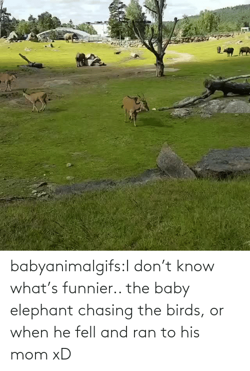 Elephant: babyanimalgifs:I don't know what's funnier.. the baby elephant chasing the birds, or when he fell and ran to his mom xD