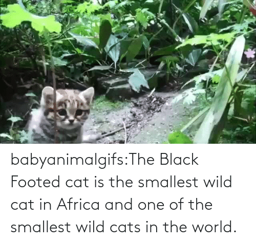 In Class: babyanimalgifs:The Black Footed cat is the smallest wild cat in Africa and one of the smallest wild cats in the world.