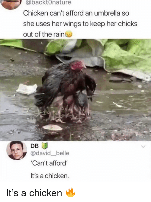 Memes, Chicken, and Rain: @backtOnature  Chicken can't afford an umbrella so  she uses her wings to keep her chicks  out of the rain  DB  david belle  'Can't afford'  It's a chicken. It's a chicken 🔥
