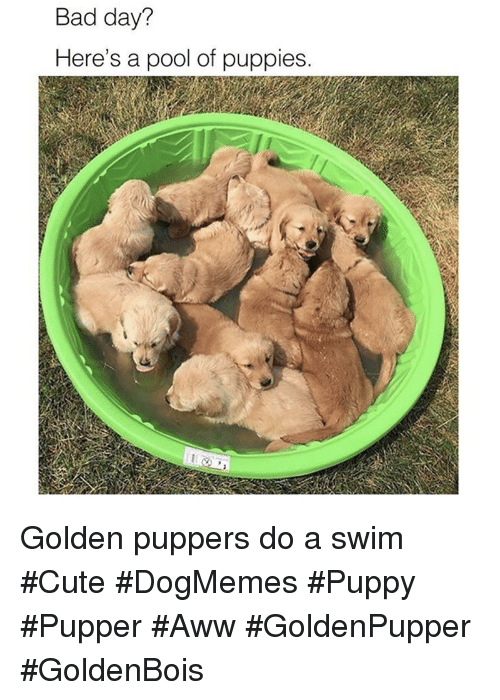 Aww, Bad, and Bad Day: Bad day?  Here's a pool of puppies Golden puppers do a swim #Cute #DogMemes #Puppy #Pupper #Aww #GoldenPupper #GoldenBois