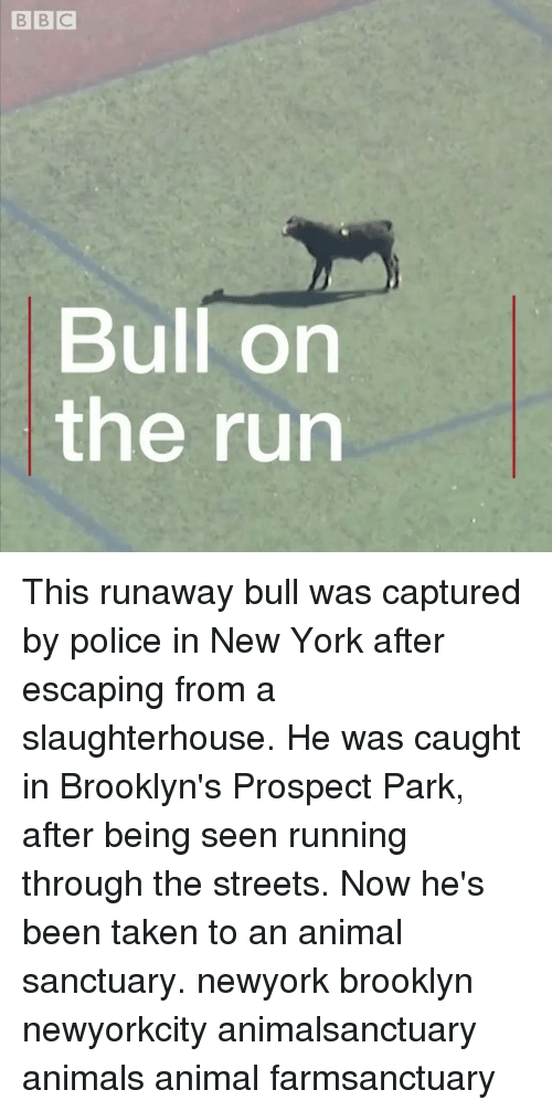Animals, Memes, and New York: BBC  Bull on  the run This runaway bull was captured by police in New York after escaping from a slaughterhouse. He was caught in Brooklyn's Prospect Park, after being seen running through the streets. Now he's been taken to an animal sanctuary. newyork brooklyn newyorkcity animalsanctuary animals animal farmsanctuary