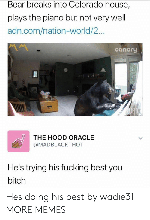 Bitch, Dank, and Fucking: Bear breaks into Colorado house,  plays the piano but not very well  adn.com/nation-world/2...  canary  THE HOOD ORACLE  @MADBLACKTHOT  He's trying his fucking best you  bitch Hes doing his best by wadie31 MORE MEMES