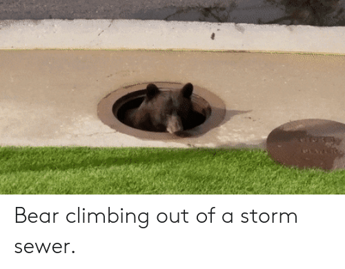 Climbing, Bear, and Storm: Bear climbing out of a storm sewer.