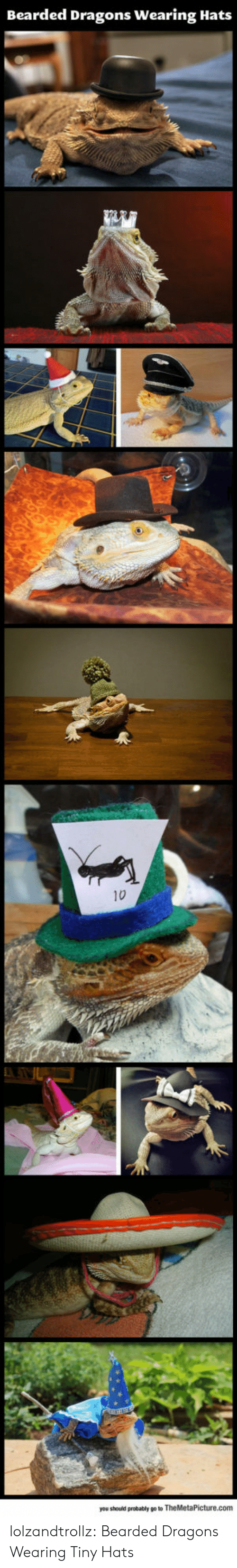 hats: Bearded Dragons Wearing Hats  10  you should probably go to TheMetaPicture.com lolzandtrollz:  Bearded Dragons Wearing Tiny Hats
