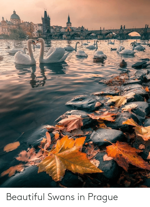 Prague: Beautiful Swans in Prague