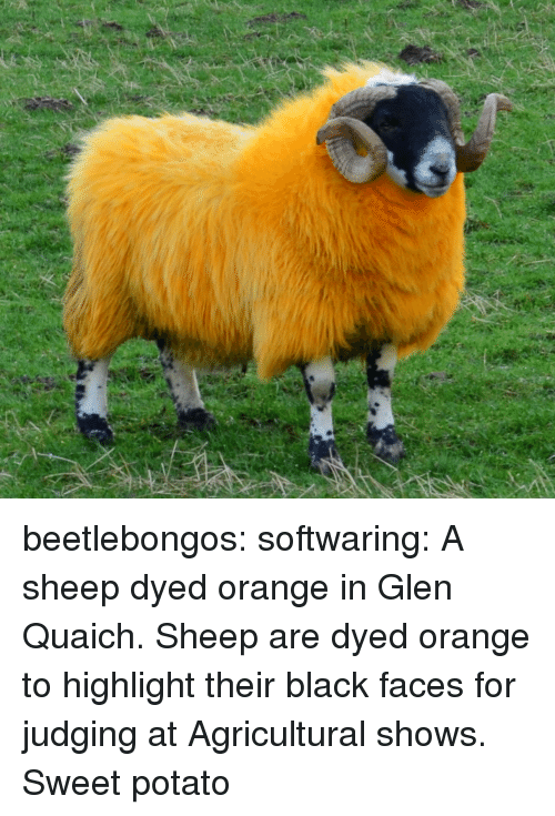 glen: beetlebongos: softwaring: A sheep dyed orange in Glen Quaich. Sheep are dyed orange to highlight their black faces for judging at Agricultural shows.  Sweet potato