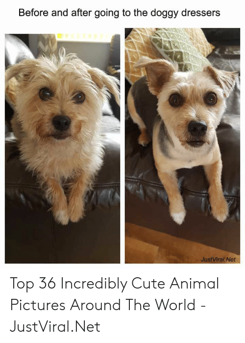 Cute, Animal, and Pictures: Before and after going to the doggy dressers  JustViral.Net Top 36 Incredibly Cute Animal Pictures Around The World - JustViral.Net