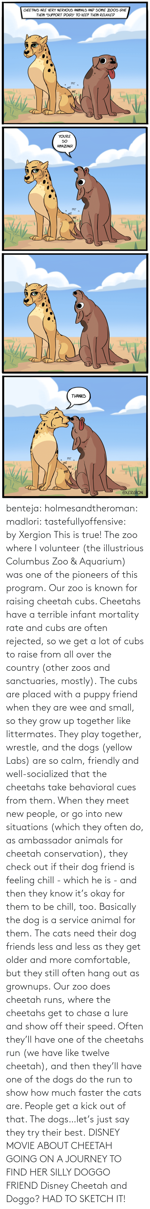 Run: benteja:  holmesandtheroman:  madlori:  tastefullyoffensive: by Xergion This is true! The zoo where I volunteer (the illustrious Columbus Zoo & Aquarium) was one of the pioneers of this program. Our zoo is known for raising cheetah cubs. Cheetahs have a terrible infant mortality rate and cubs are often rejected, so we get a lot of cubs to raise from all over the country (other zoos and sanctuaries, mostly). The cubs are placed with a puppy friend when they are wee and small, so they grow up together like littermates. They play together, wrestle, and the dogs (yellow Labs) are so calm, friendly and well-socialized that the cheetahs take behavioral cues from them. When they meet new people, or go into new situations (which they often do, as ambassador animals for cheetah conservation), they check out if their dog friend is feeling chill - which he is - and then they know it's okay for them to be chill, too. Basically the dog is a service animal for them. The cats need their dog friends less and less as they get older and more comfortable, but they still often hang out as grownups. Our zoo does cheetah runs, where the cheetahs get to chase a lure and show off their speed. Often they'll have one of the cheetahs run (we have like twelve cheetah), and then they'll have one of the dogs do the run to show how much faster the cats are. People get a kick out of that. The dogs…let's just say they try their best.   DISNEY MOVIE ABOUT CHEETAH GOING ON A JOURNEY TO FIND HER SILLY DOGGO FRIEND  Disney Cheetah and Doggo? HAD TO SKETCH IT!