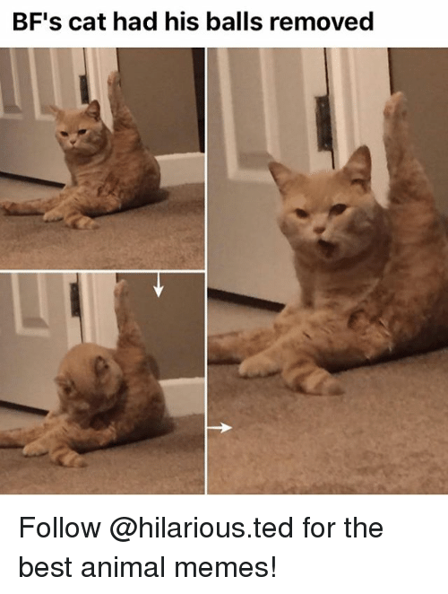 Memes, Ted, and 🤖: BF's cat had his balls removed Follow @hilarious.ted for the best animal memes!