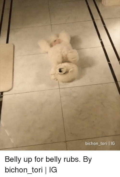 Dank, 🤖, and For: bichon_tori | IG Belly up for belly rubs.  By bichon_tori | IG