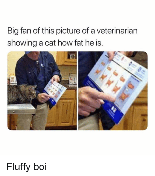 Funny, Veterinarian, and Girl Memes: Big fan of this picture of a veterinarian  showing a cat how fat he is. Fluffy boi