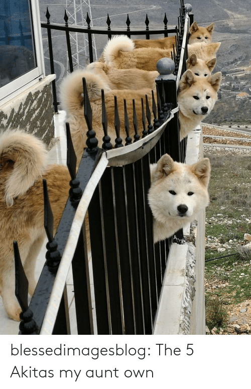 aunt: blessedimagesblog:  The 5 Akitas my aunt own