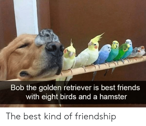 Hamster: Bob the golden retriever is best friends  with eight birds and a hamster The best kind of friendship