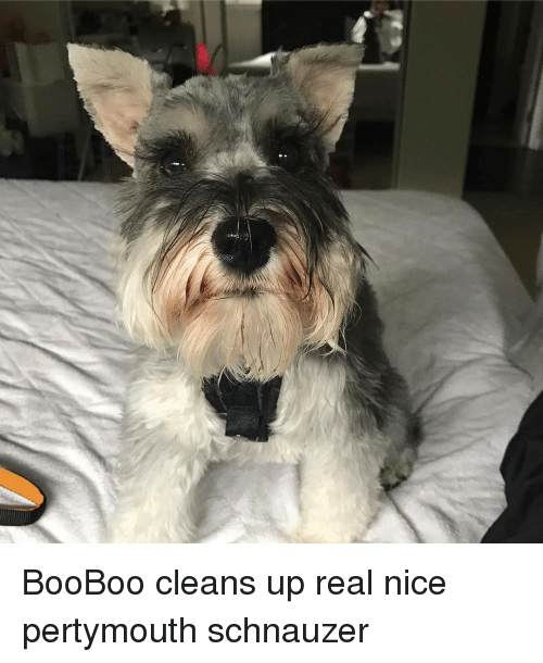 Schnauzer: BooBoo cleans up real nice pertymouth schnauzer