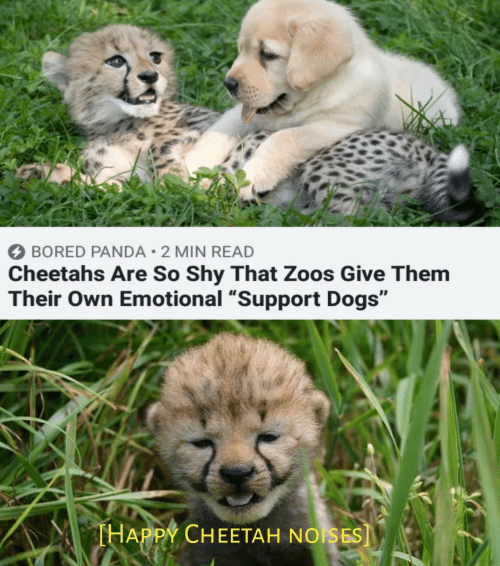 "Bored, Dogs, and Panda: BORED PANDA 2 MIN READ  Cheetahs Are So Shy That Zoos Give Them  Their Own Emotional ""Support Dogs""  THAPPY CHEETAH NOISES]"