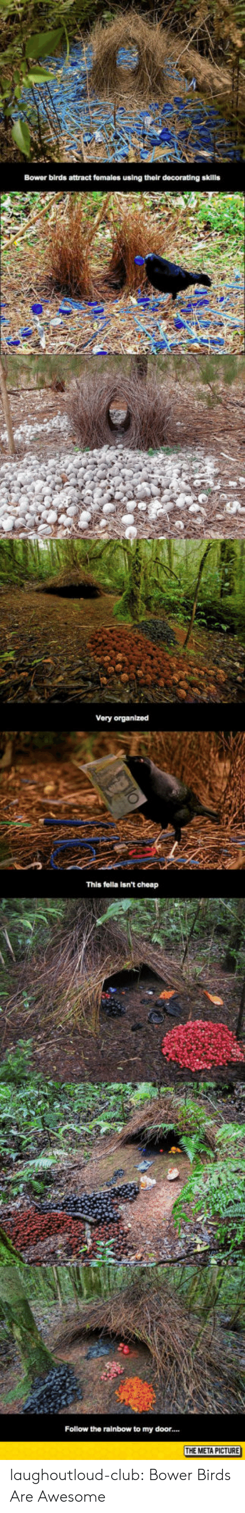 Attractiveness: Bower birds attract fomales using their decorating skills  Very organlzed  This fella isn't cheap  Follow the rainbow to my door  E META PICTURE laughoutloud-club:  Bower Birds Are Awesome