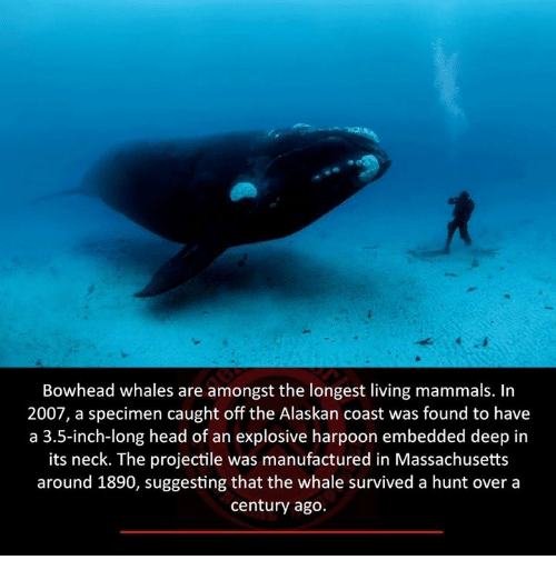 Head, Memes, and Massachusetts: Bowhead whales are amongst the longest living mammals. In  2007, a specimen caught off the Alaskan coast was found to have  a 3.5-inch-long head of an explosive harpoon embedded deep in  its neck. The projectile was manufactured in Massachusetts  around 1890, suggesting that the whale survived a hunt over a  century ago.