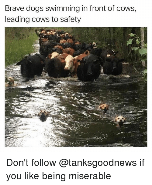 Dogs, Funny, and Brave: Brave dogs swimming in front of cows  leading cows to safety Don't follow @tanksgoodnews if you like being miserable