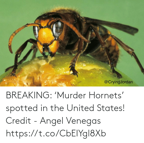states: BREAKING: 'Murder Hornets' spotted in the United States!  Credit - Angel Venegas https://t.co/CbEIYgl8Xb