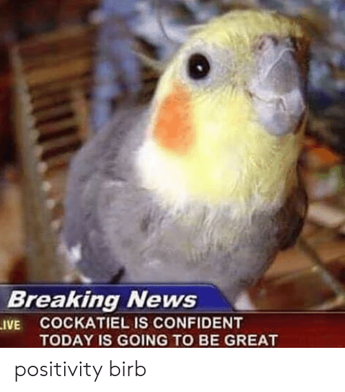News, Breaking News, and Today: Breaking News  .IVE COCKATIEL IS CONFIDENT  TODAY IS GOING TO BE GREAT positivity birb