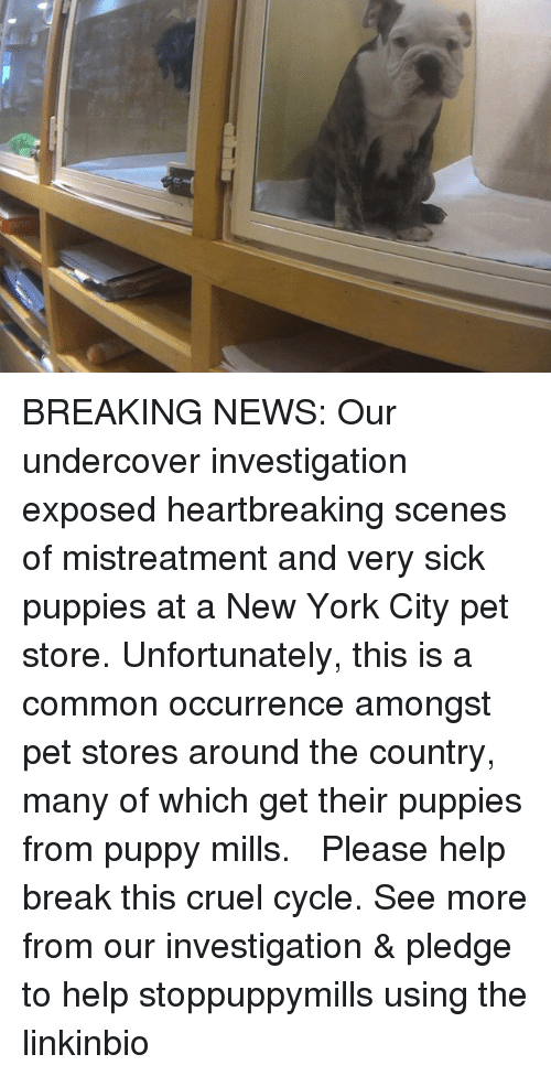 Memes, New York, and News: BREAKING NEWS: Our undercover investigation exposed heartbreaking scenes of mistreatment and very sick puppies at a New York City pet store. Unfortunately, this is a common occurrence amongst pet stores around the country, many of which get their puppies from puppy mills. ⠀ ⠀ Please help break this cruel cycle. See more from our investigation & pledge to help stoppuppymills using the linkinbio