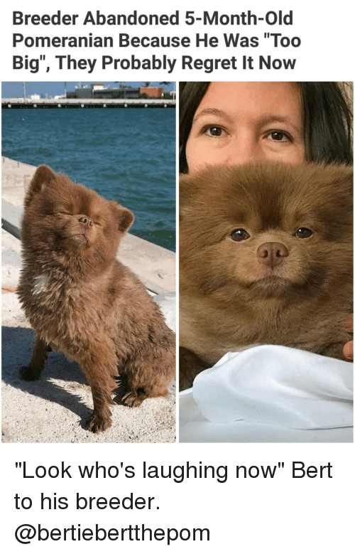 """Memes, Regret, and Pomeranian: Breeder Abandoned 5-Month-Old  Pomeranian Because He Was """"Too  Big"""", They Probably Regret It Now """"Look who's laughing now"""" Bert to his breeder. @bertiebertthepom"""